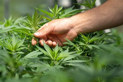 Growing Weed Outdoors at Your Northern Ontario Cottage